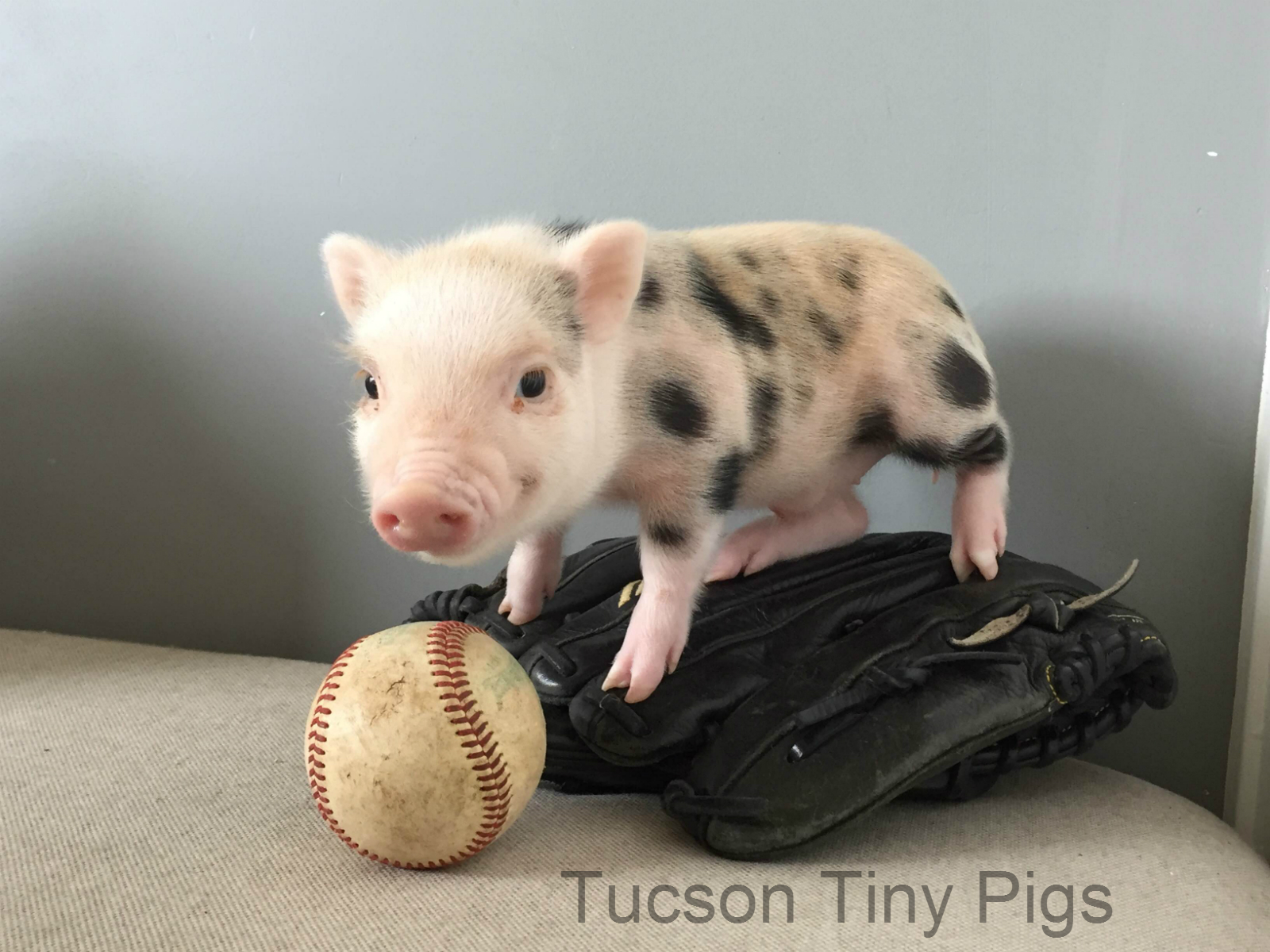 """Clear Choice Reviews >> """"Avery"""" Juliana Piglet (A.K.A. """"Tater-Tot"""") – Tucson Tiny Pigs"""